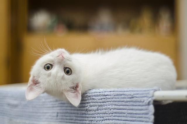 bílá kočka